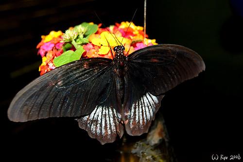 Buttery - Bohol Butterfly Farm