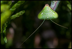 Me asomo (MoscaCojonera) Tags: insectos macro mantis insects bugs mantisreligiosa mántido beautifulmonsters elshowdelmacro