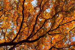 Veins (Philipp Klinger Photography) Tags: blue autumn red sky color tree fall colors yellow gold golden leaf branch branches veins leafs colourartaward