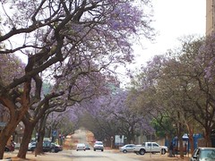 50 October in Pretoria (ronlabanga) Tags: southafrica bloom jacaranda pretoria