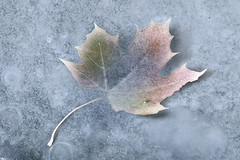 Frozen Leaf ~(MII-2)~ (Gravityx9) Tags: autumn winter photoshop leaf chop amer mii zazzle 1108 psfo everydayissunday 111508 mii2 makeitinteresting cgtextures oradaydm modernimpressionists rubyblossom