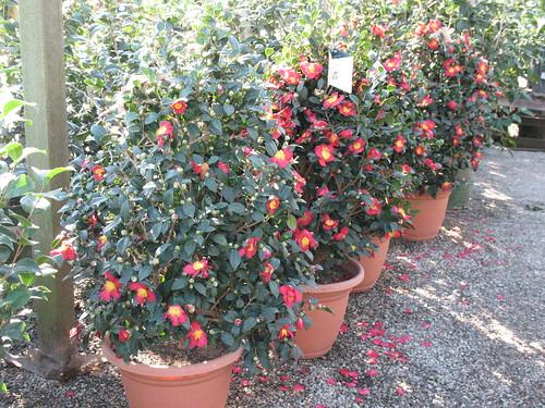 Yuletide Camellias in bloom sasanquas