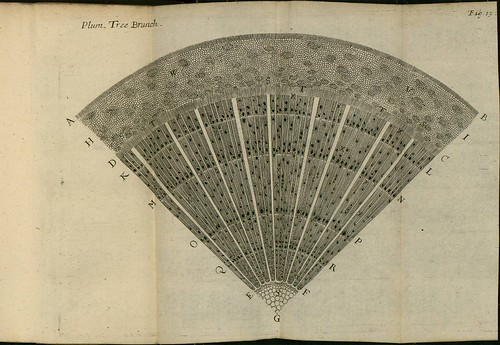 Plum Tree Branch - The comparative anatomy of trunks - Nehemiah Grew 1675