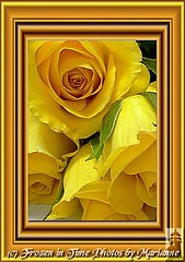 25+3 surrounded by gold (Frozen in Time photos by Marianne AWAY OFF/ON) Tags: flowers roses flower nature rose yellow yellowflowers yellowroses framedphotos masterphotos nationalgeographicwannabes flowersarebeautiful masterphotosgroup flowersallkinds unlimitedphotosnorules flowersarefabulous photowatermarkframes flickrgiants nationalgeographiswannabes