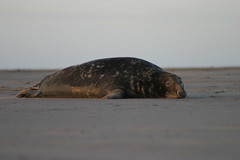 244_4451 (Cthimon) Tags: seals donnanook