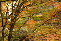 autumn leaves /  (Yoichi_) Tags: japan geotagged nikon autumnleaves   shosenkyo d80 yamanashiprefecture   geo:lat=35745075 geo:lon=13856693
