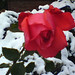 "RoseAgainstSnow • <a style=""font-size:0.8em;"" href=""http://www.flickr.com/photos/21616890@N04/3109066804/"" target=""_blank"">View on Flickr</a>"