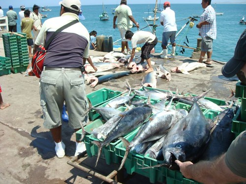 Catch of the day: Fat tunas.