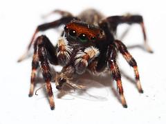 Jumper (Raikyn) Tags: spider feeding jumper mpe65