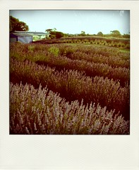 Across the lavender field. (hank moody.) Tags: nature field lavender poladroid
