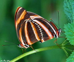 It's Got To Be Love!!! (~Kim's Picture Gallery~) Tags: two orange black green love nature butterfly hugs friday frisky