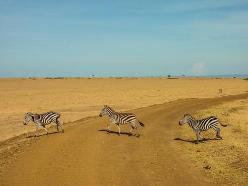 A real zebra crossing, Maasai Mara, Kenya