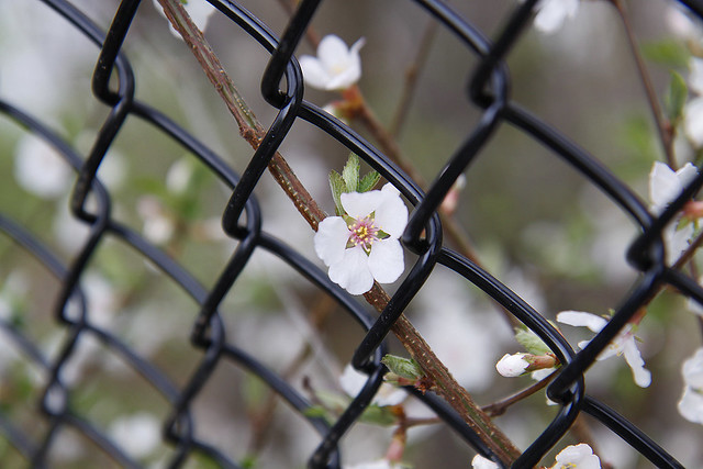 blossom through fence