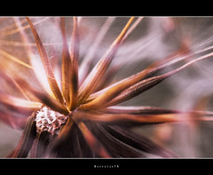 Waiting .. .. .. (Borretje76) Tags: pink brown flower macro green netherlands dutch field iso100 dof purple wind little sony nederland sigma tiny op wit f8 enschede depth purpleflower wachten bruin bloem amount pluis littleflower 180mm zaadjes a580 parasolletjes gupr borretje76 dslra580 bloepje bloempluis