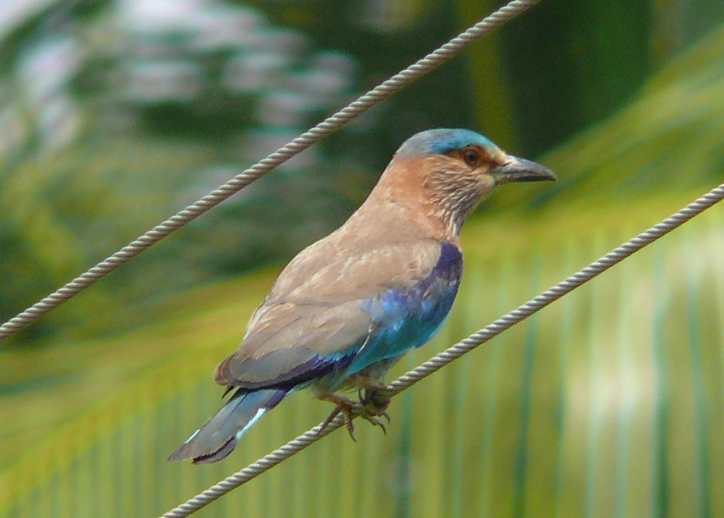 P1350876_Indian_Roller