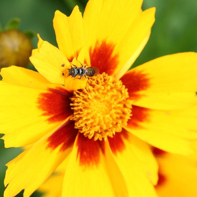 small carpenter bee - Subgenus Zadontomerus (Ceratina Subgenus Zadontomerus)