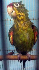 Crispn mojado (yazz20) Tags: bird wet parrot ave conure loro cotorra mojado featheryfriday