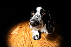 Miss Molly (jrobfoto.com) Tags: wood white black wet nose paw floor flash molly whiskers ear 5d spaniel cocker hardwood jonathanrobsonphotographycom