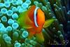 Tomato Clwonfish in Okinawa, Japan (_takau99) Tags: ocean trip travel sea vacation orange holiday fish macro uw nature water topv111 japan topv2222 lumix japanese topv555 topv333 marine asia underwater nemo topv1111 topv999 topv444 scuba diving topv222 september panasonic explore pacificocean clownfish anemone tropical 日本 scubadiving okinawa topv777 沖縄 topv666 topf10 anemonefish 2007 topv888 kerama ケラマ topf5 慶良間 philippinesea fx30 eastchinasea orangeanemonefish amphiprion frenatus tomatoclownfish amphiprionfrenatus takau99 pomacentridae tomatoanemonefish explore100 dmcfx30 dmcfx sawasdeedive 慶良間諸島 サワディダイブ