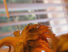 Sunflower (A Great Capture) Tags: light sun house toronto ontario canada flower macro home window kitchen closeup counter ashley ad myhouse sunflower blinds dying on ald canadianphotographer torontophotographer ash2276 ash2275 ashleyduffus canadianphotogpraher ashleysphotography ald ashleysphotographycom ashleysphotoscom ashleylduffus wwwashleysphotoscom