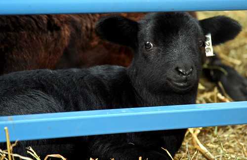 A black ram lamb, but not Titan