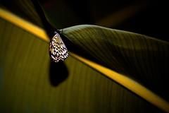 The Other Way (docksidepress) Tags: night butterfly spring nikon post bokeh michigan grandrapids grandrapidsmi sb800 d40 offcameraflash speedlightsb800 afsvrmicronikkor105mmf28gifed frederikmeijergardenssculpturepark nikkor105mmf28gvrmicro offcameracable minimaglightprefocus huntingbutterfliesinthedark bringaflashlight