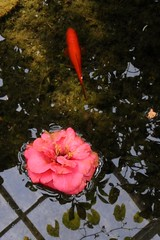 Reflective moment at Duke Gardens (nosha) Tags: fish flower reflection gardens goldfish nj duke conservatory greenhouse chinesegarden camellia destroyed tsubaki  nosha ddcf 1000placesusa savedukegardens chhu ihaveanewcameraanditsspringpleaseforgivealltheflowershots dorisdukecharitablefoundation joanesperopresident nannerlokeohanechair johnjmackvicechair harrybdemopoulos anthonysfauci jamesfgill annehawley peteranadosy williamhschlesinger johnhtwilson johnezuccotti