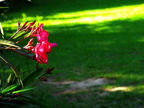 CrabAppleLane Oleander - May 4, 2008