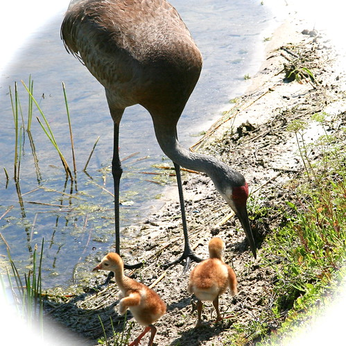 New Crane Chicks a few hours old.2