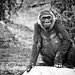 Gorilla Gaze by auer1816