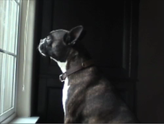 Otis sings his heart out (Gino) Tags: bostonterrier otis bestdogever