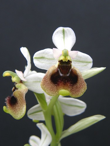 Ophrys ficalhoana ( = O.tendhredinifera subsp. ficalhoana ) 2506699514_0a04ea747c