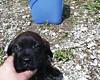 Velvet (muslovedogs) Tags: dogs puppy mastweiler