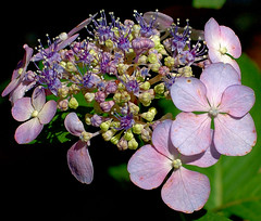 drive-by hydrangea (Ray .) Tags: flower raw hydrangea cheverly flickrsbest goldenmix golddragon anawesomeshot colorphotoaward macromarvels theperfectphotographer mimamorflowers