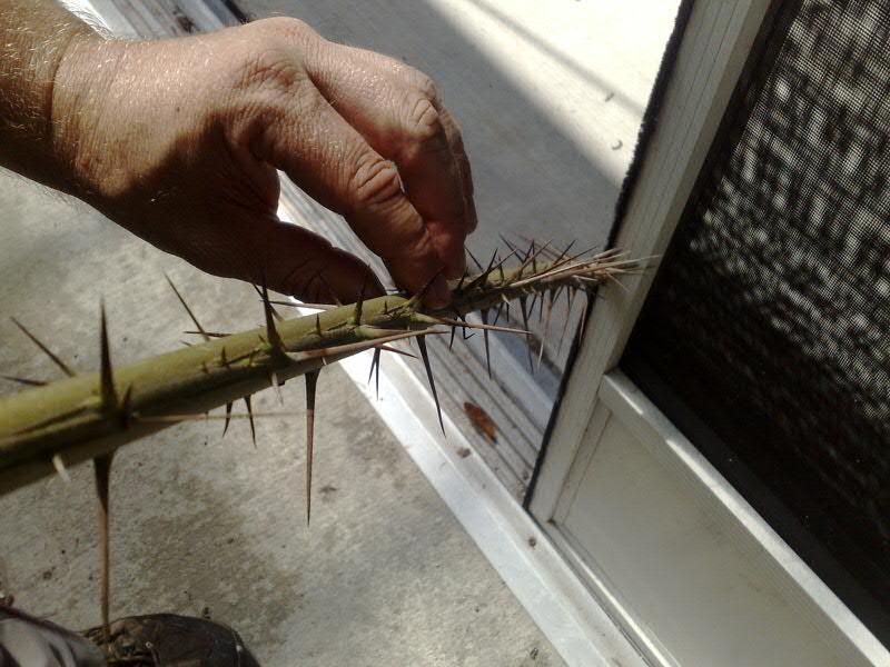 salak palm