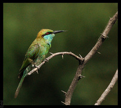 Green Bee-eater. (Ezhil Ramalingam) Tags: hyderabad 500mm tamron avian birdwatcher osmania greenbeeeater blueribbonwinner aplusphoto colourartaward goldstaraward explore349dt270608 thewonderfulworldofbirds