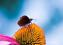 Butterfly on the top.jpg (HVargas) Tags: flowers flores flower color macro beautiful closeup daisies canon lens eos flickr branch florida blossom flor fave sunflowers daisy africandaisy photoshopelements canoneos5d canonlens canonmacro exemplary amazingshot canonef180mm flowerotica flickrsbest fantasticflower digifoto abigfave flowertulip ef180mm digitaleeanalogico flickrplatinum 07663 flickrenvy diamondclassphotographer flickrdiamond canoneos40d excellentphotographerawards flickrphotoaward canon40d amazinshots flowersmacroworld ef180mmf35lmacrousm flowersallkinds amazinglyaxed canonmacroef180mm auniverseofflowers floresprlapaz efmacro180mm
