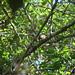 spotted puffbird Guyana 2007 459