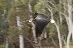 Straw-necked ibis (kasia-aus) Tags: bird nature animal wings flight australia ibis canberra act strawneckedibis threskiornisspinicollis royalibis threskioonisspinicollis