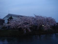 DSC02817 (smithtleigh) Tags: japan aomori hirosaki hanami