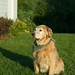 Fluffy, Yellow Dog in the Evening Light