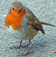 robin crossing the road (earlyalan90 away awhile) Tags: naturesfinest abigfave aplusphoto avianexcellence diamondclassphotographer flickrdiamond goldstaraward thewonderfulworldofbirds