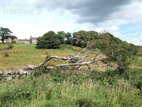 the rowan resting on a dry stone wall, having fallen over