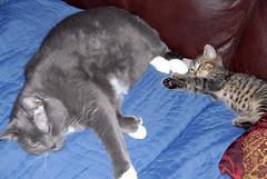 StellaAt12Weeks005 (SpikeSoleil) Tags: cute cat kitten sleep tabby tiger adorable lazy snooze