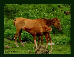 To feed... (///Negin Kiani) Tags: horse photo iran mother mazandaran colt       tofeed        neginkiani
