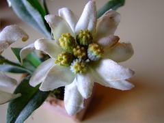 Edelweiss (Montemaior) Tags: alpes tirol grossglockner ustria