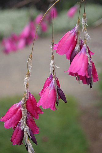 Dierama or Fairy Wand Flower