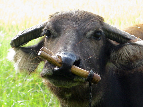 Water buffallo with stick in nose near Luoshan, Henan Province, China