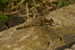 """Common Darter Dragonfly (Sympetrum s(76) • <a style=""""font-size:0.8em;"""" href=""""http://www.flickr.com/photos/57024565@N00/2853299703/"""" target=""""_blank"""">View on Flickr</a>"""