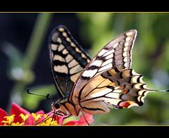 ~~~~Butterflies are Free~~~~ (~~~Gasssman~~~) Tags: won soe wmp worldsbest iloveit naturesfinest beautysecret supershot macrolicious bej mywinners abigfave diamondheart platinumphoto diamondclassphotographer amazingamateur worldofanimals magicofaworldinmacro eliteimages theperfectphotographer goldstaraward excapturemacro marvelousphotoaward multimegashot flickrbestpics fabulousflicks alittlebeauty flickrsmasterpieces perfectangl